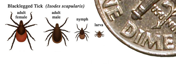 Size of Blacklegged Ticks: Nymph, Adult, and Larva