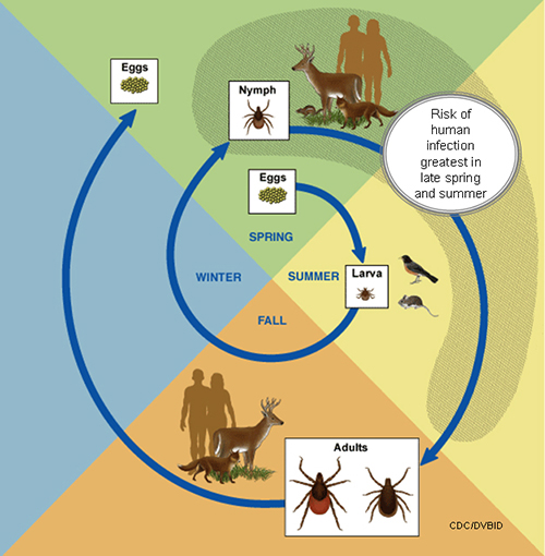 Deer Ticks Life Cycle and Risk of Infection